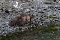 Brown bear (Ursus arctos}, Kitoi Bay, Kodiak Is, Alaska