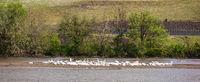 White Pelicans, Snake River