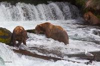 Brown (Grizzly) bear, Ursus Arctos, Brooks Falls, salmon, fishing, Katmai NP, Alaska Penninsula, Alaska