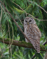 Barred Owl; Strix varis
