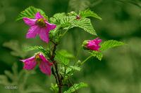 Salmonberry blooms; Rubus spectabilis