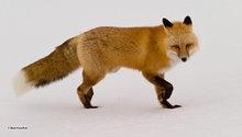 Churchill,Manitoba,Canada,red fox
