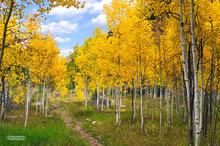 Colorado,aspen trees,Maroon Bells-Snowmass Wilderness