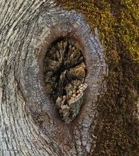 Oak,acorns,knot