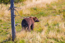 Brown,grizzly,bear,ursus arctos,Alaska