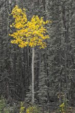 Cottonwood,Populus deltoides Alaskan Hiway,Yukon,Canada