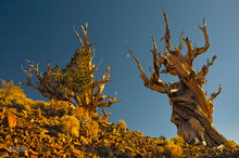 Schulman Grove,bristlecone pine,evening,moon,phototropism