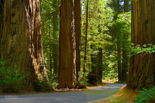 Founder's Grove,Avenue of the Giants,redwoods,road