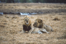 Botswana,Africa,lion,panthera leo
