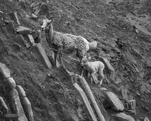 Big Horn Sheep,ewe,lamb