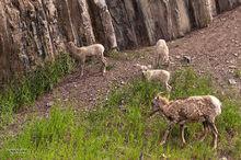 Bighorn Ewe and Lambs
