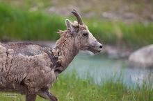 Big Horn Sheep,ewes,rams,lambs