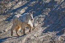 Mountain Goats,Oreamnos americanus,Banff NP,Alberta,Canada