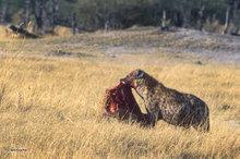 Botswana,Africa,hyena,savannah