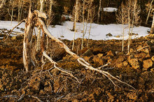 tree,Aspen,lava,Utah,snow