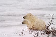 Churchill,Manitoba,polar bear,Wapusk