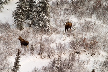 Churchill,Manitoba,moose,Wapusk