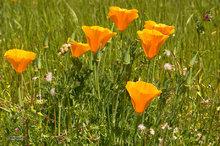 California poppies,blooms