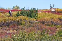 caribou,rangifer tarandus,Denali NP,Alaska