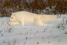 Churchill,Manitoba,arctic fox