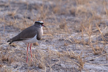 Botswana,Africa,crowned plover