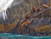 Steller Sea Lions,Eumetopias jubatus,Kenai,Fjords NP,Alaska,No Name Island