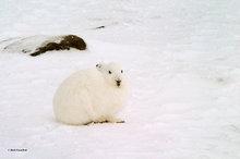 Churchill,Manitoba,Canada,arctic hare