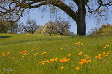 Mendocino foothills,poppies,Spring,grasses