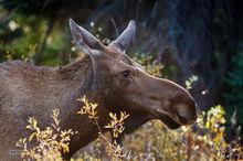 Moose,cow,Yukon,Alaskan Hiway,Canada