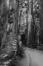 Founder's Grove,redwoods,road