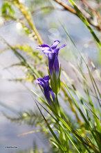 Gentian,flower,blue