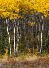 Aspen,Populus tremuloides,Alaskan Hiway,Yukon,Canada