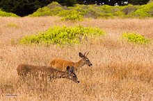 deer,Point Cabrillo