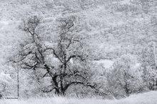 High Valley,oak tree