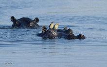 animal,wildlife,mammal,hippo,bird,Africa,Botswana,Okavango delta,Bodumatau Lagoon. Red-billed Oxpecker,Hippo