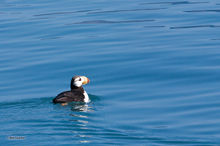 Horned Puffin,Resurrection Bay,Kenai,Fjords NP,Alaska