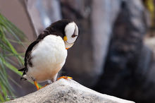 Horned Puffin,rocks,Kenai,Fjords NP,Alaska