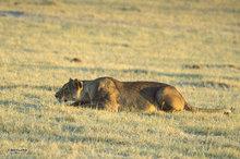 Botswana,Africa,lioness