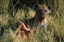 Botswana,Africa,Spotted hyena