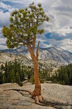 Yosemite,Olmsted Point,Jeffrey pine