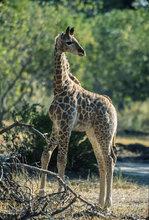 Botswana,Africa,Giraffe