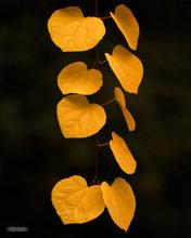 Cercidiphyllum Japonicum,autumn,leaves