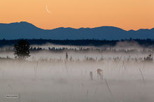 dawn,waning crescent moon,Kenai River wetlands,fog,black pine,Kenai Mountains,Kenai Peninsula,Alaska