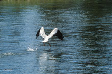 American white pelican,flight