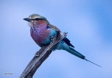 Botswana,Africa,Lilac-breasted Roller