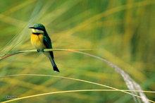 Africa,Botswana,Little Bee Eater