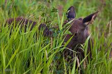 moose,alces alces,Alaska