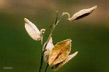 Milkweed seed pod,Aesclepias Syriaca