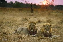 Africa,Botswana,lion,sunrise,savannah