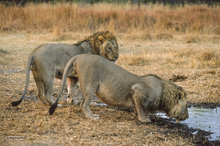 Africa,Botswana,lion,panthera leo